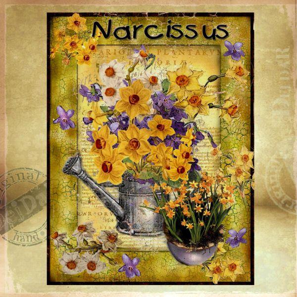 Obrazy narcis